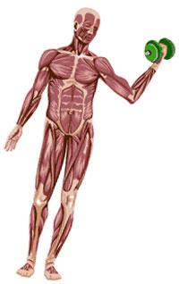 Skeletol Muscle Splits