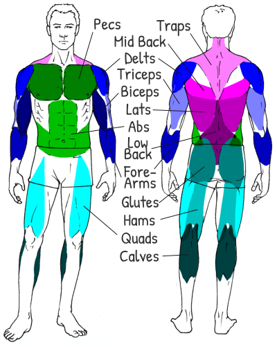 Muscle Groups Labelled